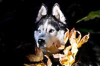 Siberian Husky Lakota Sunrise aka Koty peeks through the fall foliage at Clayton Lake in the Flathead National Forest near Hungry Horse Reservoir. photos of siberian huskies, husky photos, pictures of siberian huskies, best photos of huskies, best photos of siberian huskies