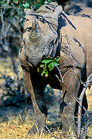 Black Rhinoceros feeding on limbs and leaves.  Africa.