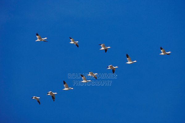 Snow Goose (Chen caerulescens), flock in v formation, Bosque del Apache National Wildlife Refuge , New Mexico, USA,