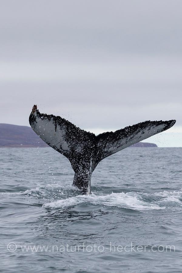 Buckelwal, Fluke, Buckel-Wal, Wal, Wale, Megaptera novaeangliae, humpback whale, fluke, La baleine à bosse, la mégaptère, la jubarte, la rorqual à bosse, Walsafari, Walbeobachtung, Island, whale watching, Iceland