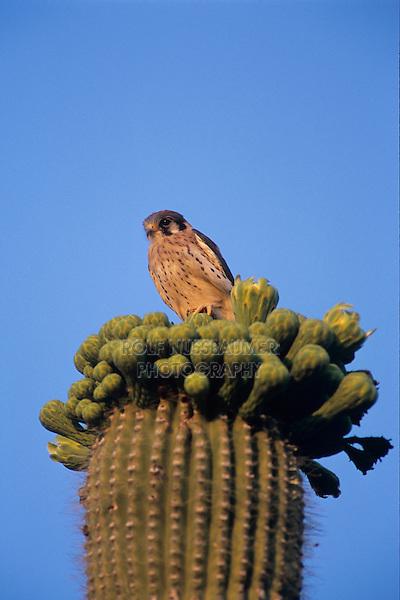 American Kestrel, Falco sparverius, young on top of blooming Saguaro Cactus, Saguaro National Park, Tucson, Arizona, USA, May 2005