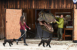 Pictured:  Chris with the T-Rex in his garage while stepdaughter Megan McCubbin walks the miniature poodles Sid and Nancy.<br /> <br /> Wildlife TV presenter Chris Packham is struggling to find a new home - because he needs one big enough to fit his life size T-Rex head.   The Springwatch presenter said he had forgotten just how big the dinosaur was when he accepted the unusual 100kg item as a present.<br /> <br /> As a result, the 2 and a half metre tall replica is too big to fit into his country cottage in Hampshire's New Forest.  The naturalist - who earlier this year presented a BBC show about the dinosaur - is now looking for a new house with a wall big enough to mount the head on.   SEE OUR COPY FOR DETAILS.<br /> <br /> © Simon Czapp/Solent News & Photo Agency<br /> UK +44 (0) 2380 458800