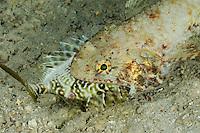 Synodus sp., Eidechsenfisch mit Fisch im Maul, feeding Lizardfish, Bali, Indonesien, Indopazifik, Bali, Indonesia Asien, Indo-Pacific Ocean, Asia maul