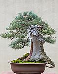 Sierra Juniper (Juniperus occidentalis)<br /> Bonsai since 2011, Ryan Neil collection, Pacific Bonsai Museum, Federal Way, Washington
