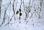Ermine or stoat, Haines, Alaska