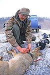 Putting Radio Collar On Anesthetized Coyote