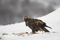 Golden Eagle, Aquila chrysaetos, adult female in snow, Bulgaria
