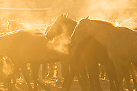 Cow horses at sunrise Western fine art prints and photographs of the western lifestyle by western photographer Jess Lee.