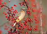 WAXWINGS, STARLING