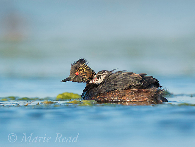 Eared Grebe (Podiceps nigricollis), adult with chick riding on its back, Bowdoin National Wildlife Refuge, Montana, USA