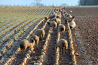 Suffolk cross replacement ewe lambs on roots on a frosty morning, Bonchester Bridge, Hawick, Scottish Borders. Suffolk cross replacement ewe lambs.