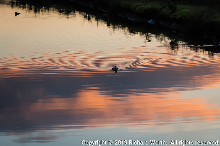 A duck swims through the reflection of sunset glowing clouds on the water at MLK Regional Shoreline in Oakland, California.