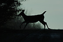 00275-196.11 White-tailed Deer (DIGITAL) doe is bounding across a road in low light.  Accident, auto, roadkill.  H4L1