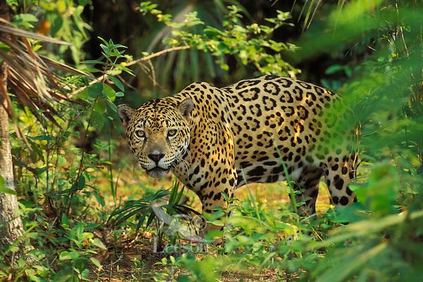 Jaguar (Panthera onca).  Central America, tropical rainforest.