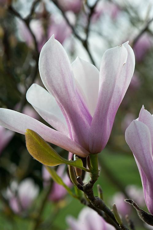 Magnolia 'Heaven Scent', early April.