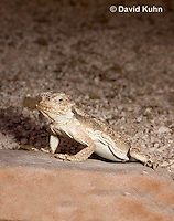 0610-1008  Desert Horned Lizard or Horny Toad (Mojave Desert), Phrynosoma platyrhinos  © David Kuhn/Dwight Kuhn Photography