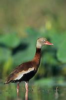 Black-bellied Whistling-Duck, Dendrocygna autumnalis,adult, Welder Wildlife Refuge, Sinton, Texas, USA, June 2005