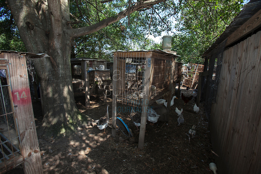 Fowl roam a section of property during a raid on a puppy mill in Johnston, SC on Tuesday, Sept. 11, 2012. HSUS workers found over 200 dogs, nine horses and 30-40 fowl.