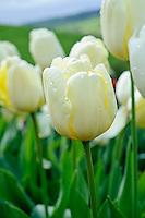 Tulipa 'Ivory Floradale'