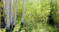Spring aspen near Aspen