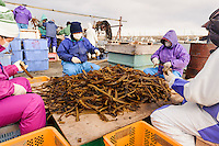 Cutting and preparing wakame stalks, harvesting wakame at dawn, Awata fishing port, Naruto, Tokushima Prefecture, Japan, February 4, 2012.