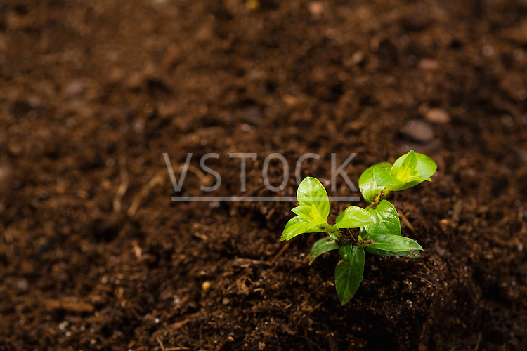 Freshly planted seedling