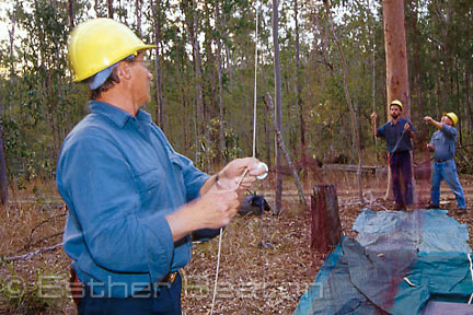 Researchers from State Forests setting net to trap a Masked Owl known to be in forest. Whiporee, northern NSW