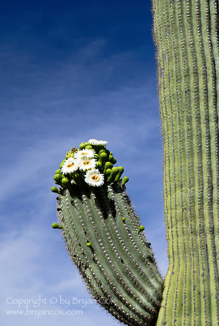 Saguaro in bloom, Saguaro National Park
