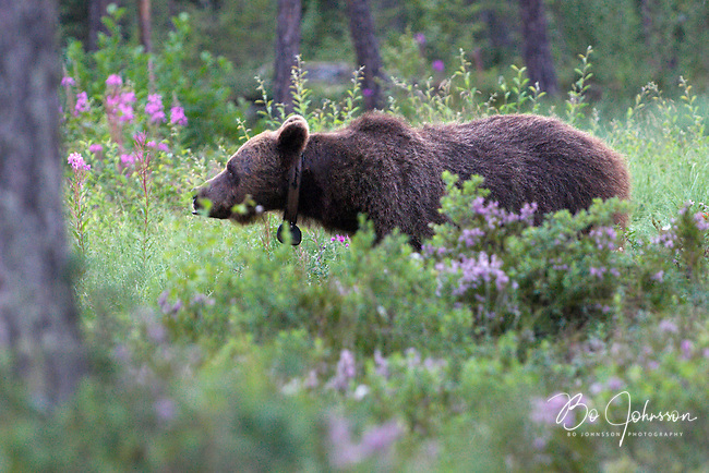 Wary male brown bear (ursus arctos) in the wild forests near Edsbyn in Halsingland, Sweden. <br /> July 2008.