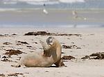 Australian Sea-lion (Neophoca cinerea), scratching, Seal Bay, Kangaroo Island, Australia.