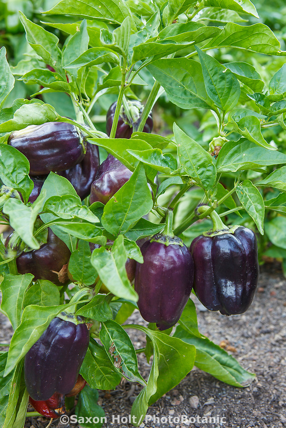 Bell Pepper 'Pinot Noir', (Capsicum annuum) in Community Garden of Healdsburg Senior Living Center, California