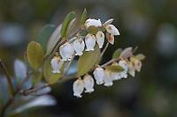 Torfgränke, Zwerglorbeer, Chamaedaphne calyculata, Leatherleaf, Leather-leaf