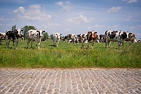 the Haaghoek cows in Brakel<br /> <br /> cycling hotspots & impressions in the Vlaamse Ardennen (Flemish Ardennes) along the 181km Spartacus (Chasing Cancellara) cycling route<br /> <br /> Cycling In Flanders <br /> Flanders Tourist Board<br /> <br /> ©kramon