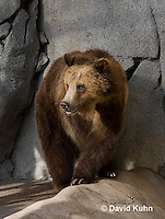 0325-1009  Grizzly Bear, Ursus arctos horribilis  © David Kuhn/Dwight Kuhn Photography.