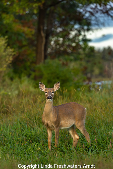 White-tailed fawn in the early evening light of autumn.