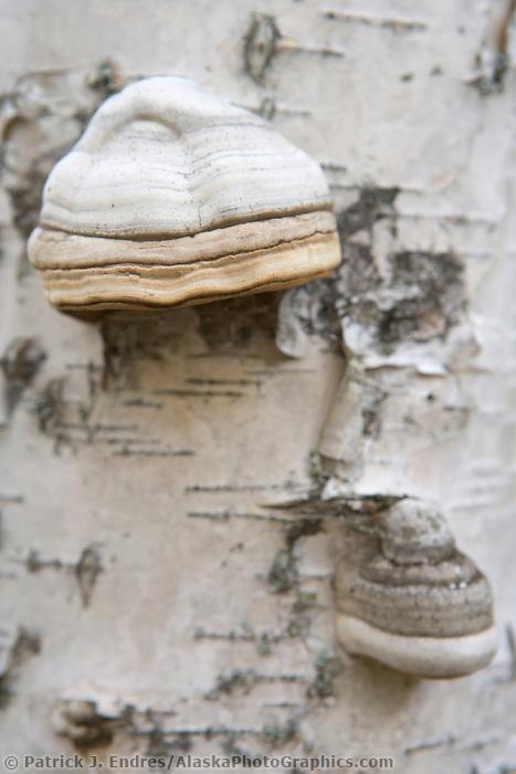 Bear's bread, Alaska Paper birch tree, Fairbanks, Alaska