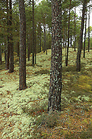 Pine Trees and Lichen in Culbin Forest near Nairn, Highland<br /> <br /> Copyright www.scottishhorizons.co.uk/Keith Fergus 2011 All Rights Reserved