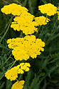 Achillea 'Coronation Gold', end June.