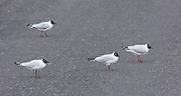 Andean gulls, Larus serranus, on a road in Antisana Ecological Reserve, Ecuador