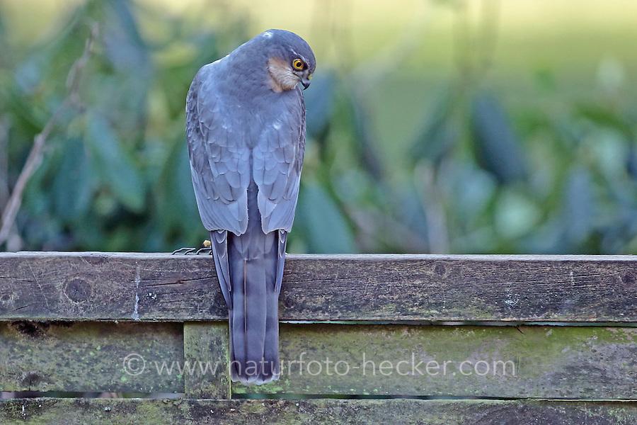 Sperber, Männchen, Terzel, Accipiter nisus, northern sparrowhawk, sparrow hawk, male, Épervier d'Europe
