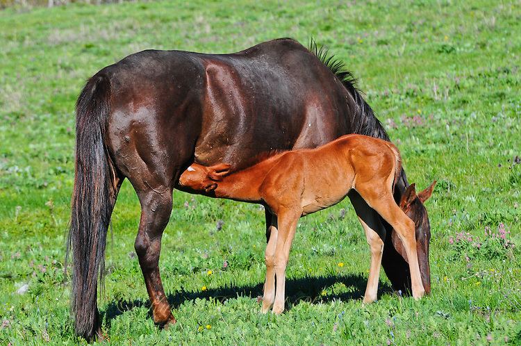 Brand new foal nursing its mother near Cut Bank Creek Blackfeet Reservation