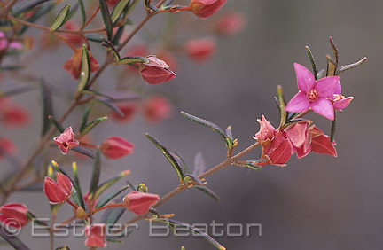 Sydney Boronia (Boronia ledifolia) has pungent leaves which can be used in place of Rosemary. New South Wales