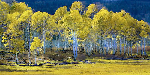 Fall has arrived at a grove of aspens near Zion National Park, Utah