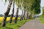 Europa, DEU, Deutschland, Nordrhein Westfalen, NRW, Westfalen, Erwitte-Stirpe, Baeume, Baumreihe, Birken, Birkenbaeume, Kategorien und Themen, Natur, Umwelt, Nahaufnahmen, Makro, Pflanzen, Botanik, Natur, Naturfoto, Naturfotos, Naturfotografie, Naturphoto, Naturphotographie, Landschaft, Landschaften, Landschaftsfoto, Landschaftsfotografie, Landschaftsphoto, Landschaftsphotographie....[Fuer die Nutzung gelten die jeweils gueltigen Allgemeinen Liefer-und Geschaeftsbedingungen. Nutzung nur gegen Verwendungsmeldung und Nachweis. Download der AGB unter http://www.image-box.com oder werden auf Anfrage zugesendet. Freigabe ist vorher erforderlich. Jede Nutzung des Fotos ist honorarpflichtig gemaess derzeit gueltiger MFM Liste - Kontakt, Uwe Schmid-Fotografie, Duisburg, Tel. (+49).2065.677997, ..archiv@image-box.com, www.image-box.com]