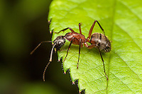 Ferruginous Carpenter Ant (Camponotus chromaiodes)