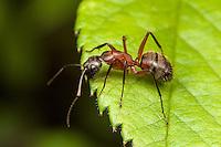 Ferruginous Carpenter Ant (Camponotus chromaiodes)