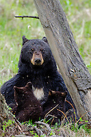 Wild Black Bear (Ursus americanus) mom nursing two young cubs.  Western U.S., Spring.