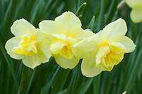 Three daffodils Yellow Cheerfulness Narcissus spring flowering bulbs