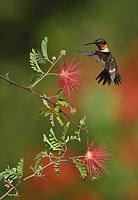Ruby-throated Hummingbird (Archilochus colubris), male feeding on Fairy Duster (Calliandra eriophylla), Hill Country, Central Texas, USA