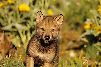 Gray wolf pup (Canis lupus).  June.